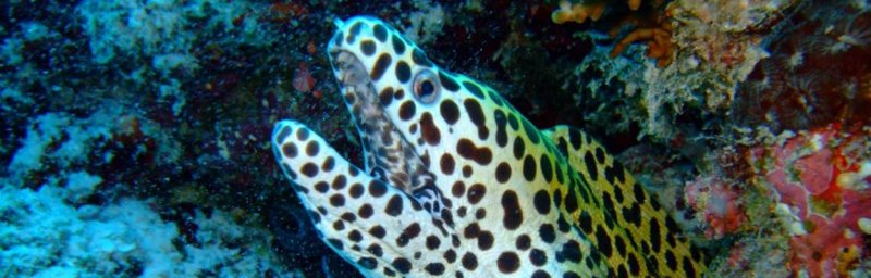 Pesce maculato
