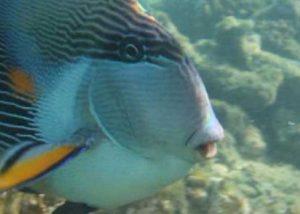 Pesce oceanico